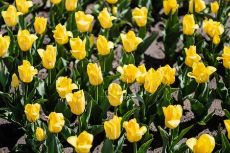 Photo for Beautiful yellow tulips with green leaves in sunlight - Royalty Free Image