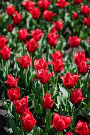 Photo pour Foyer sélectif de tulipes rouges colorées avec des feuilles vertes - image libre de droit