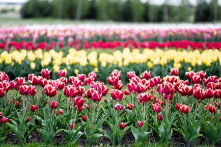 Photo for Selective focus of beautiful colorful tulips growing in field - Royalty Free Image