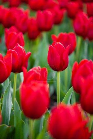Photo pour Vue rapprochée des tulipes rouges colorées aux feuilles vertes - image libre de droit
