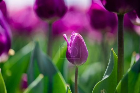 Photo for Selective focus of beautiful purple colorful tulip - Royalty Free Image