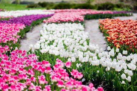 Photo pour Foyer sélectif de la floraison champ de tulipes colorées - image libre de droit