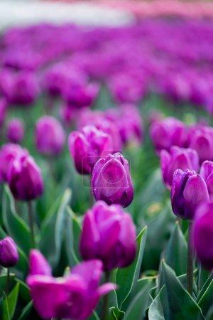 Photo pour Foyer sélectif de belles tulipes colorées violettes - image libre de droit