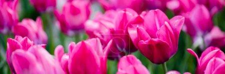Photo pour Mise au point sélective de belles tulipes roses colorées, plan panoramique - image libre de droit