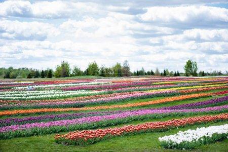 Foto de Colorido campo de tulipanes con cielo azul y nubes. - Imagen libre de derechos
