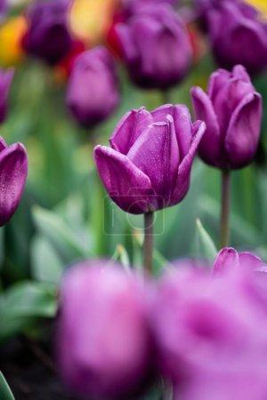Photo pour Focus sélectif de tulipes pourpres colorées - image libre de droit