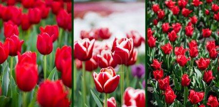 Photo pour Foyer sélectif de champ de tulipes colorées rouges, collage - image libre de droit