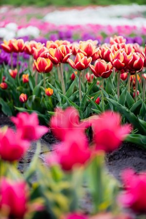 Photo for Beautiful blooming colorful tulips field - Royalty Free Image