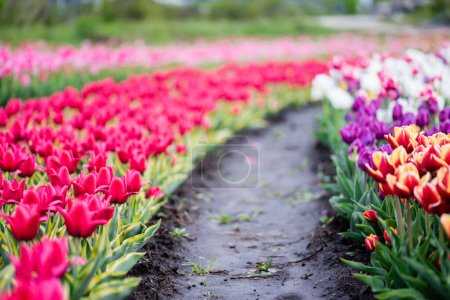beautiful blooming colorful tulips field with ground