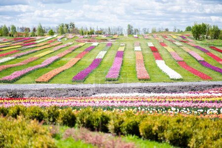 Photo for Colorful tulips field with blue sky and clouds - Royalty Free Image