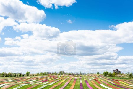 colorful tulips field with blue sky and clouds