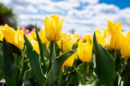 Photo for Colorful yellow tulips against blue sky and clouds - Royalty Free Image