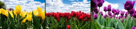 Photo for Collage of colorful red, yellow and purple tulips against blue sky and clouds, panoramic shot - Royalty Free Image