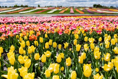 Photo for Selective focus of colorful tulips field - Royalty Free Image