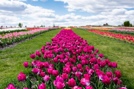 Foto de Enfoque selectivo de tulipanes púrpuros coloridos en campo con cielo azul y nubes. - Imagen libre de derechos