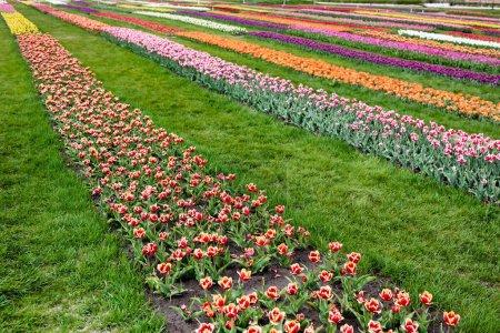 Photo pour Beau champ de tulipes colorées avec herbe verte - image libre de droit