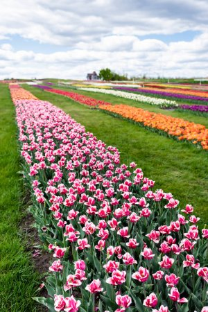 Photo for Selective focus of colorful tulips field with blue sky and clouds - Royalty Free Image