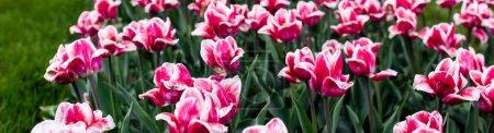 Photo pour Belles tulipes roses colorées poussant dans le champ, vue panoramique - image libre de droit