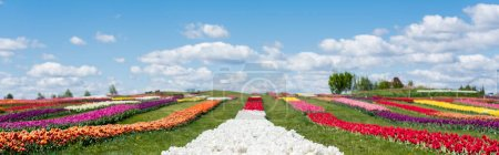 Photo for Colorful tulips field with blue sky and clouds, panoramic shot - Royalty Free Image