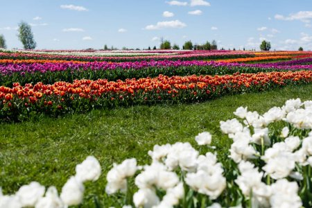 Photo pour Foyer sélectif de champ de tulipes colorées avec ciel bleu et nuages - image libre de droit
