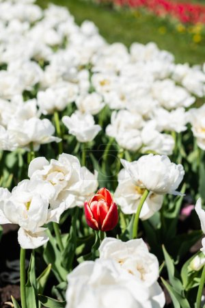 Photo for Selective focus of red and white tulips growing in field - Royalty Free Image
