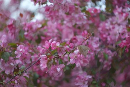 Sacura, Blooming Garden Background, Pink Apple Tree, Selective focus
