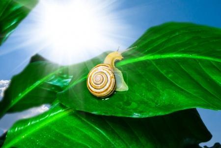 grape snail on a green leaf