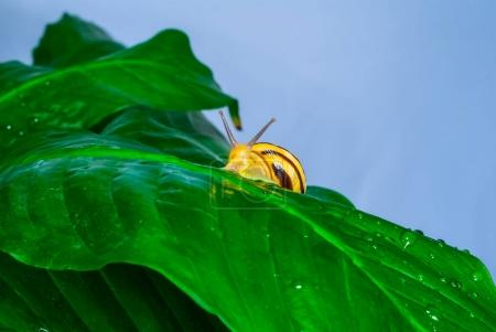grape snail on a green leaf