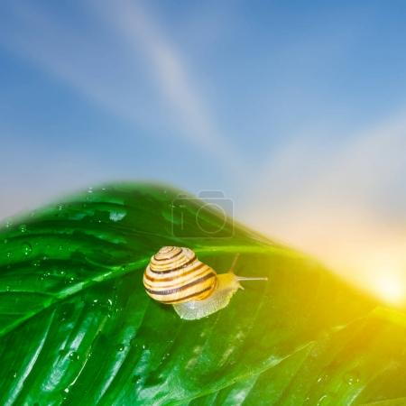 garden snail on a green leaf