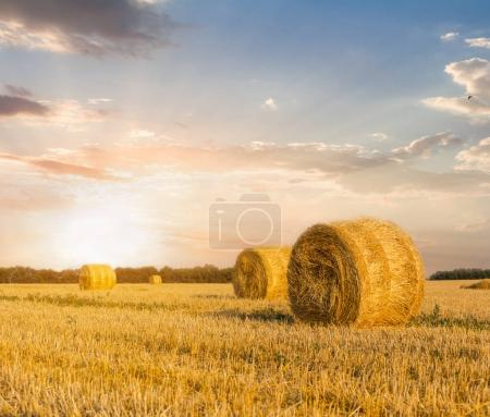 summer wheat field after a harvest at the sunset