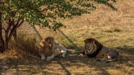 lions rest to arid savannah