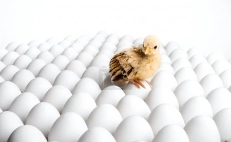 chicken sit on eggs