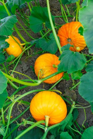 Photo for Young pumpkins growing in the garden outside - Royalty Free Image