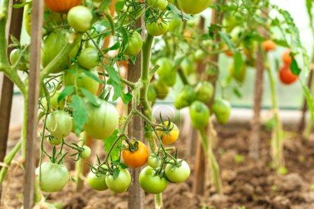 Fresh tomato bushes