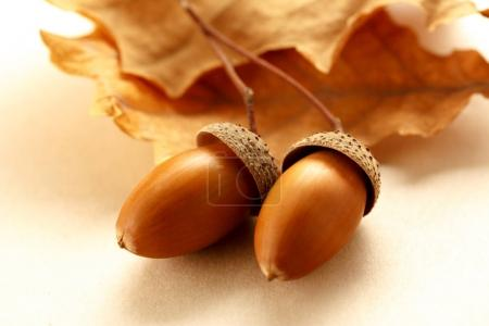 Fresh acorns with dried leaves