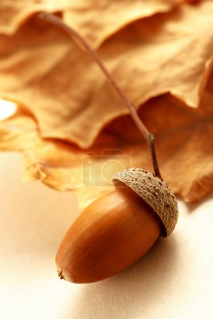 acorn with dried leaves