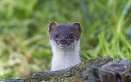 Curious European weasel looks out from behind a ro...