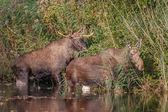 Moose in autumn close-up