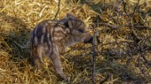 Young wild Boar in forrest