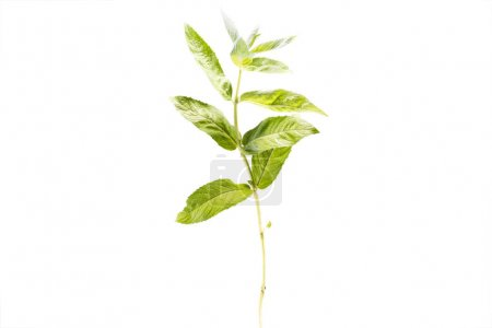 Branch of fresh healthy mint