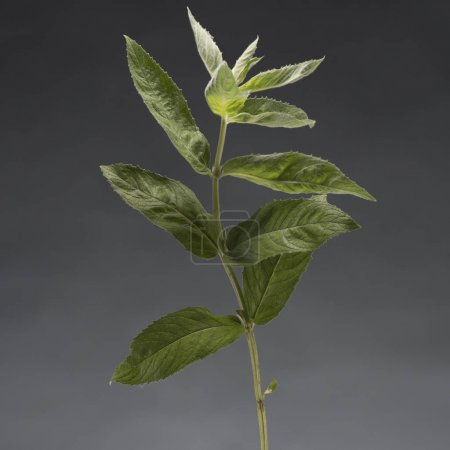 Photo for Single branch of fresh healthy mint isolated on grey - Royalty Free Image
