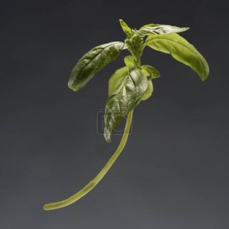 Photo for Single branch of healthy ripe green basil isolated on grey - Royalty Free Image