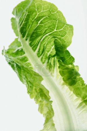 healthy lettuce leaf