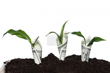 Photo for Plants covered with dollar banknotes isolated on white, investment concept - Royalty Free Image
