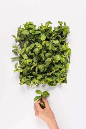 Hand holding mint leaf