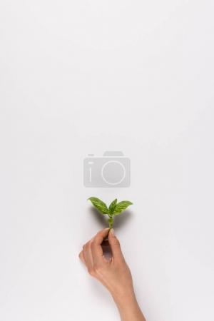 Photo for Cropped view of hand holding green mint leaf, isolated on white with copy space - Royalty Free Image