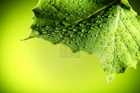 Photo for Birght green leaf covered with water drops - Royalty Free Image