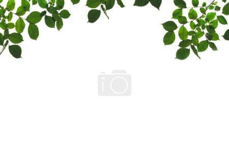 Foto de Ramas y ramitas con hojas verdes aisladas en blanco - Imagen libre de derechos