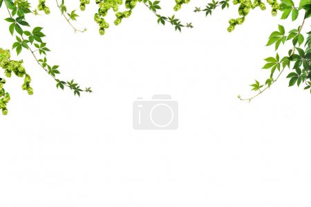 Photo for Branches and twigs with green leaves isolated on white - Royalty Free Image