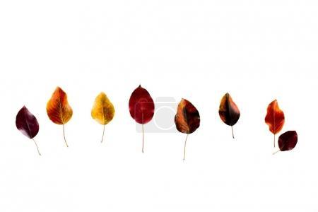 Photo pour Vue de dessus de la ligne de couleurs feuilles d'automne sombres isolé sur blanc - image libre de droit